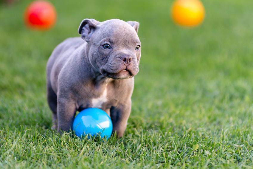 Szczeniak rasy amstaff z kolorowymi piłkami na trawie, a także amstaff niebieski i amstaff blue
