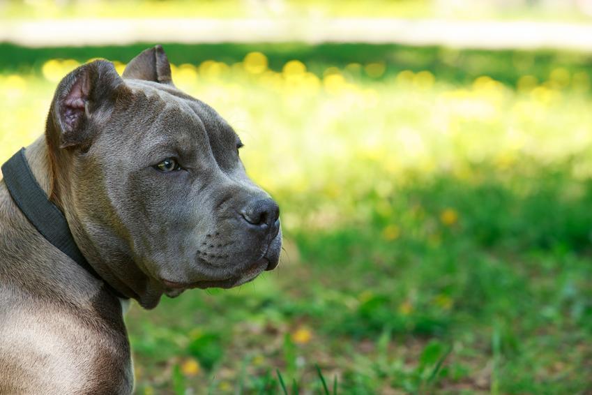 Pies rsy amstaff na tle zielonej trawy, a także amstaff niebieski i amstaff blue i ich charakter