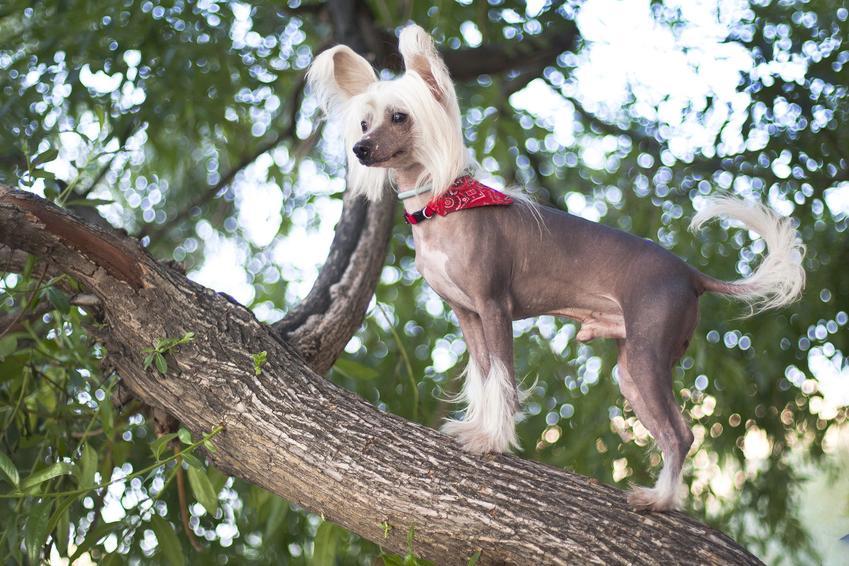 Pies rasy grzywacz chiński siedzący na gałęzi drzewa, a także jego charakter i cena