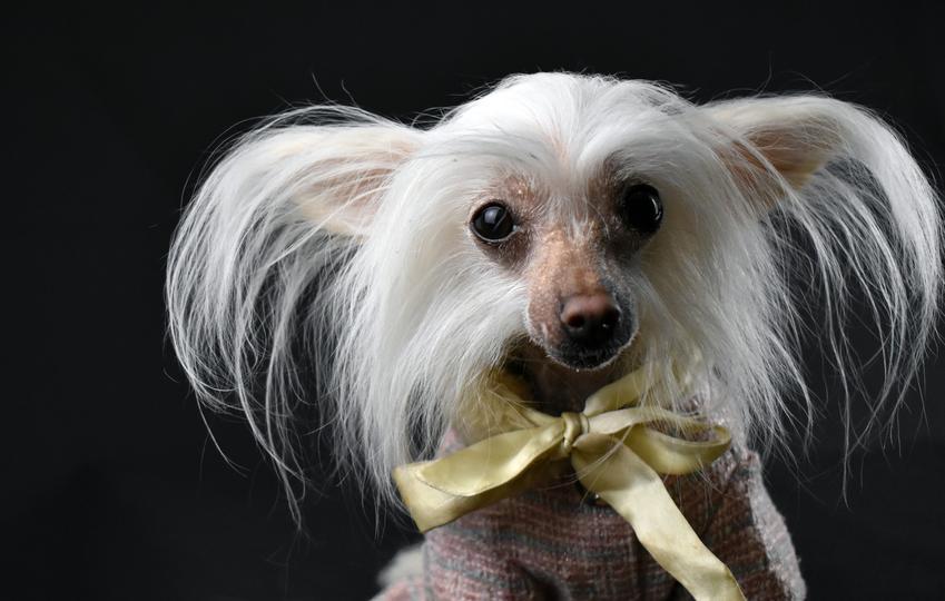 Pies rasy grzywacz chiński z długimi włosami na czarnym tle, a także jego charakter i wychowanie