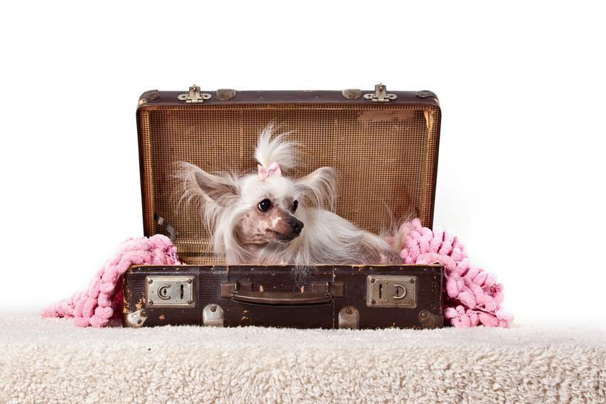 Pies rasy grzywacz chiński siedzący w walizce, a także jego hodowla, opis i cena