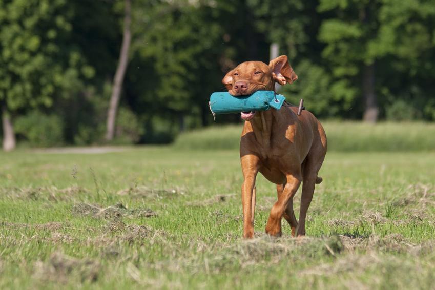 Pies niosący w pysku zabawkę, a także porady, jak nauczyć psa posłuszeństwa