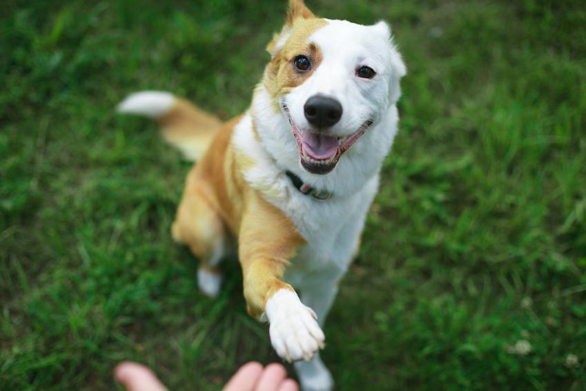 Pies podający łapę właścicielowi na tle zielonej trawy, a także jak nauczyć psa posłuszeństwa