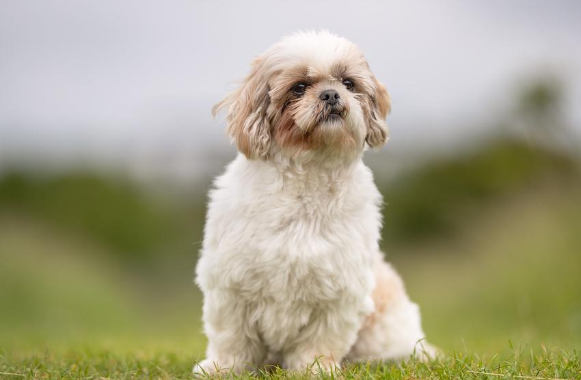Pies rasy shih tzu na dworze na tle zieleni, a także najczęstsze choroby shih tzu