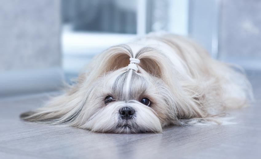 Pies rasy shih tzu z kitką na głowie leżący na podłodze, a także najczęstsze choroby shih tzu