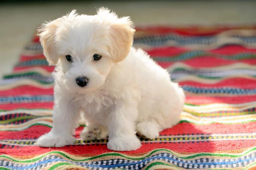 Mały pies rasy maltańczyk siedzący na kocu, a także maltańczyk miniaturka i opinie o maltańczykach