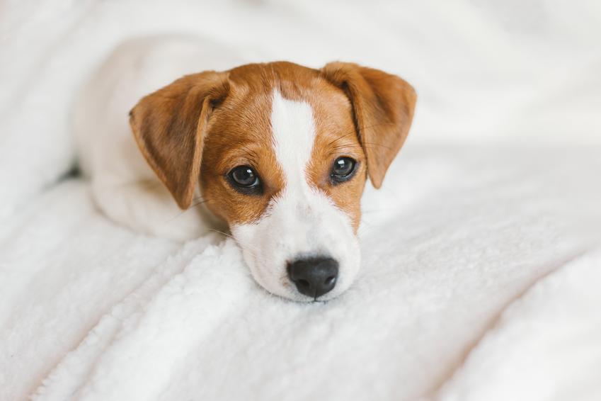 Pies rasy jack russell terrier leżący na łóżku, a także jego charakter i cena