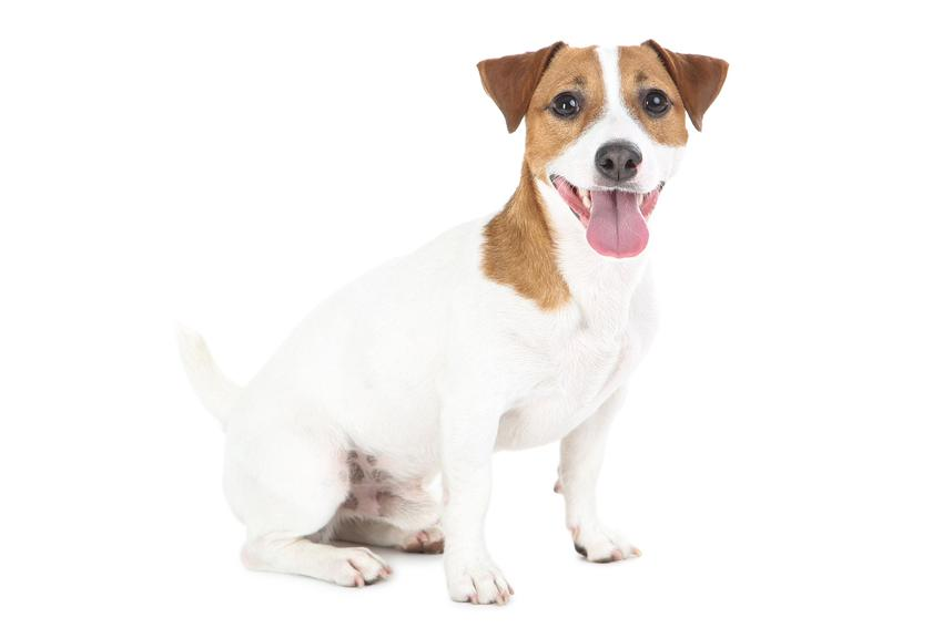 Pies rasy jack russell terrier na białym tle oraz jego usposobienie i cena