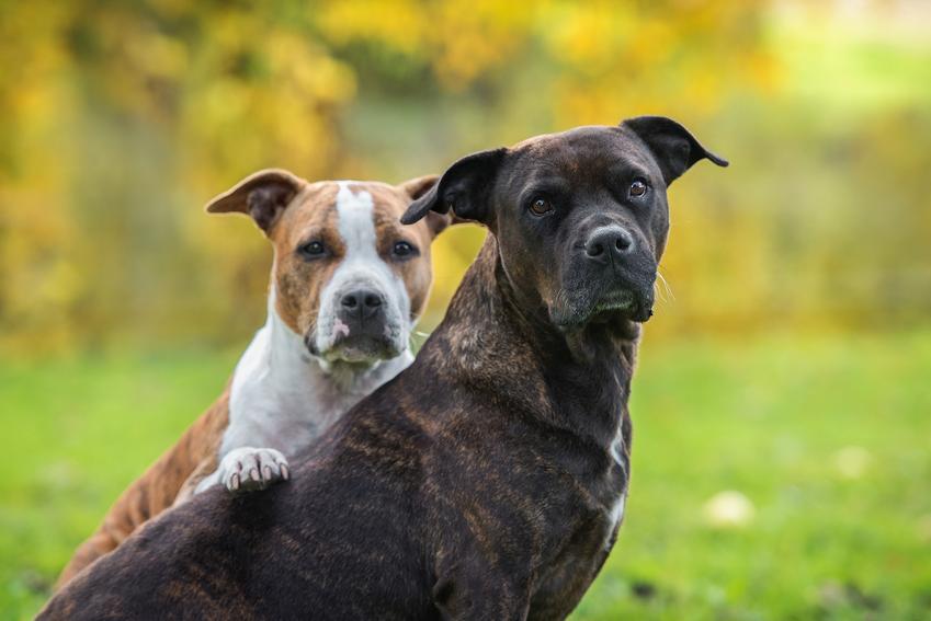 Psy rasy amerykański staffordshire terier podczas spaceru na tle zieleni oraz ich charakter