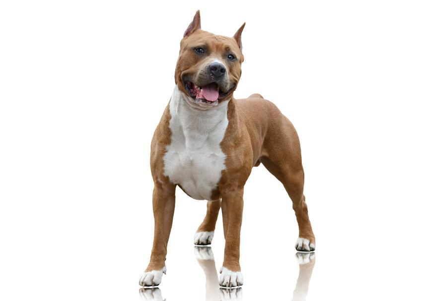 Pies rasy amerykański staffordshire terier krok po kroku, czyli jego charakter i wychowanie