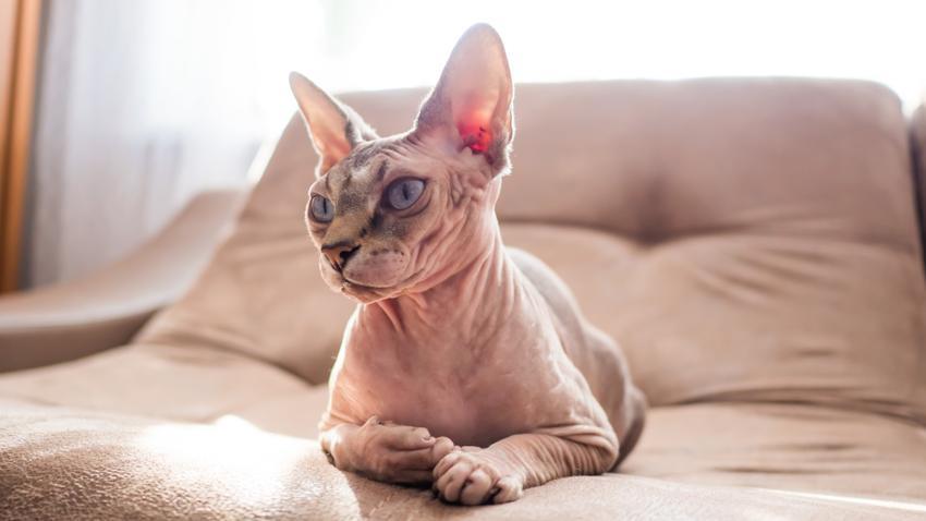 Kot egipski w salonie na sofie oraz inne koty bez sierści i polecane rasy