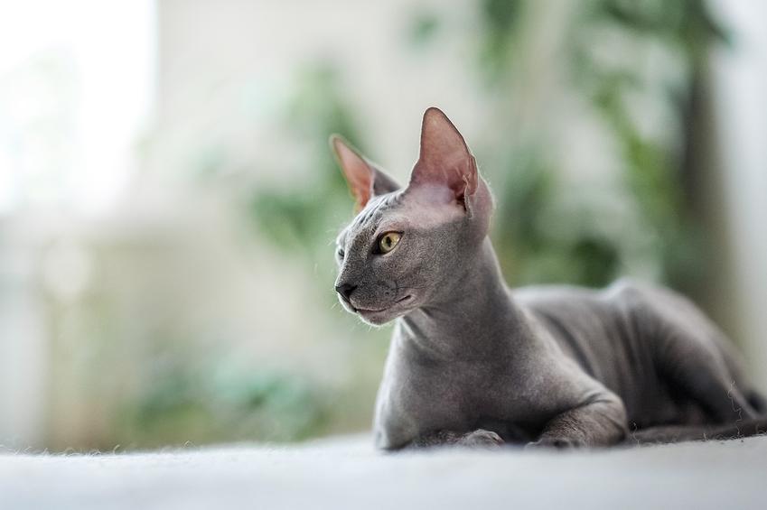 Kot bez sierści sfinks, czyli koty egipskie i inne rasy kotów bez sierści