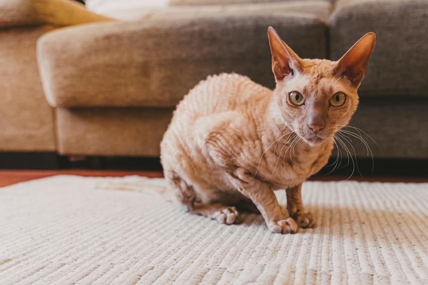 Kot bez sierści na dywanie w salonie oraz nazwa kotów bez sierści i polecane rasy