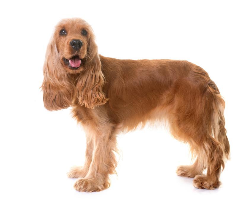 Pies rasy cocker spaniel angielski na białym tle, a także jego charakter i wychowanie