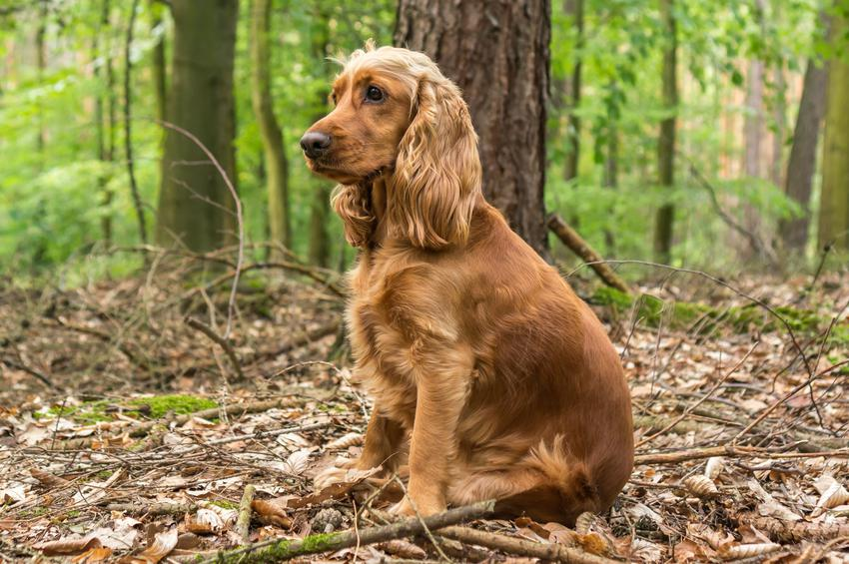 Pies rasy cocker spaniel angielski siedzący w lesie, a także jego charakter i cena