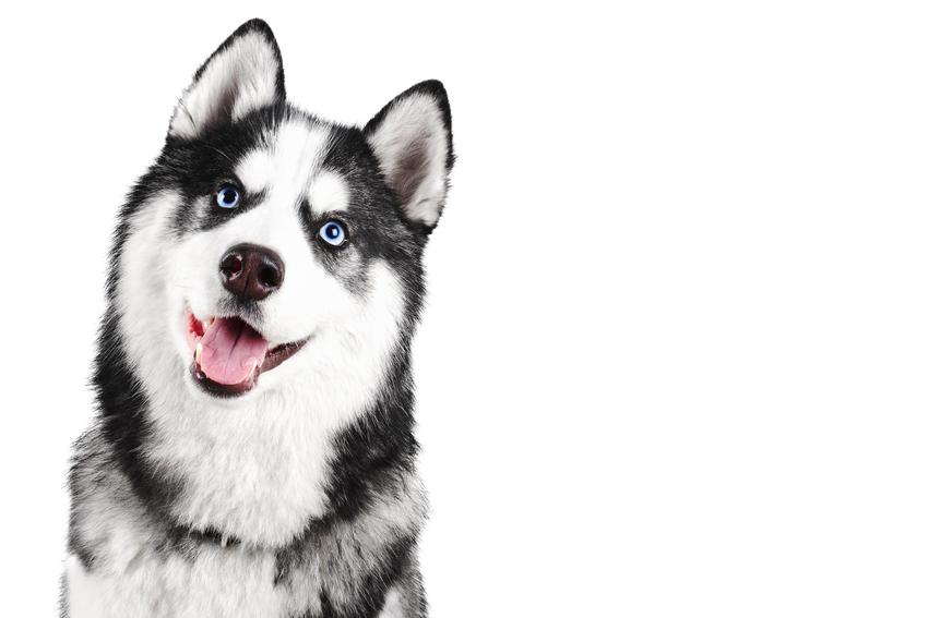 Pies rasy husky syberyjski na białym tle oraz jego wychowanie, a także charakterystyka