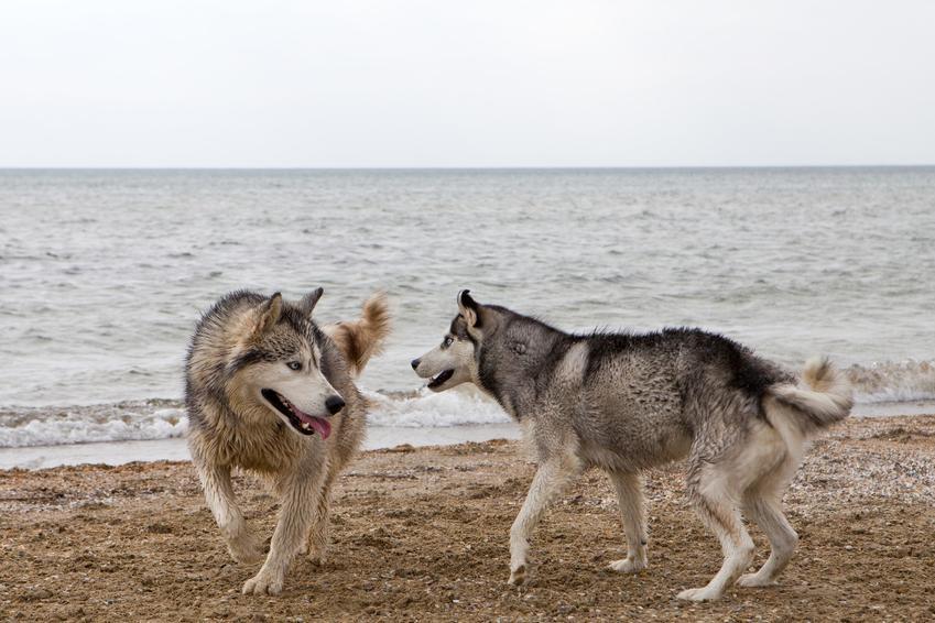 Dwa psy bawiące się nad brzegiem morza, a także cieczka u psa suczki krok po kroku