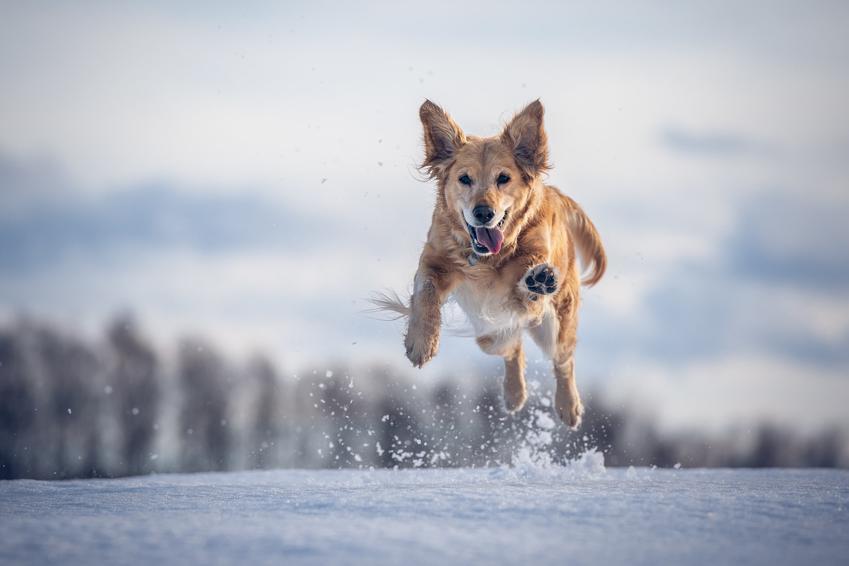 Pies biegnący w podskokach po śniegu, a także cieczka u psa i wszystko, co warto wiedzieć