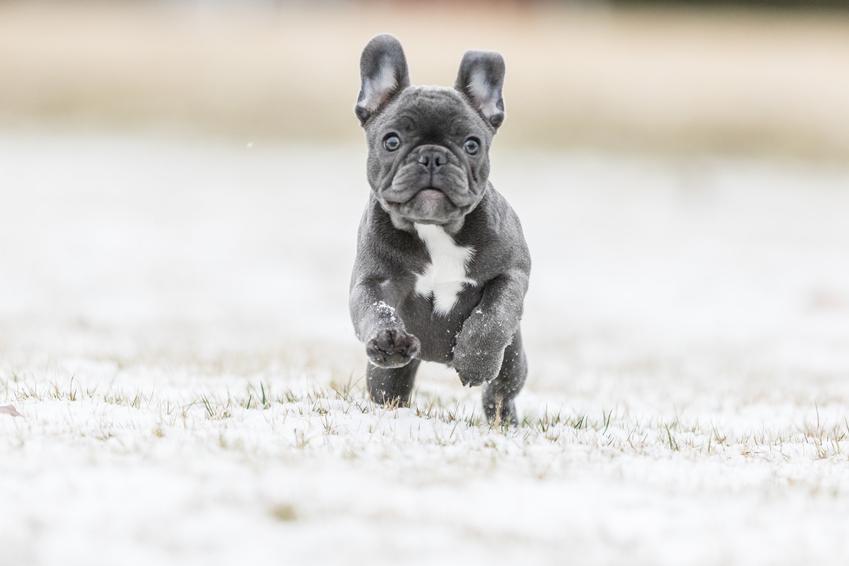 Pies rasy buldog francuski blue biegające podczas spaceru, a także niebieski buldog francuski