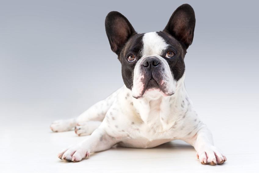 Buldog francuski biały na szarym tle, a także jego charakter i usposobienie