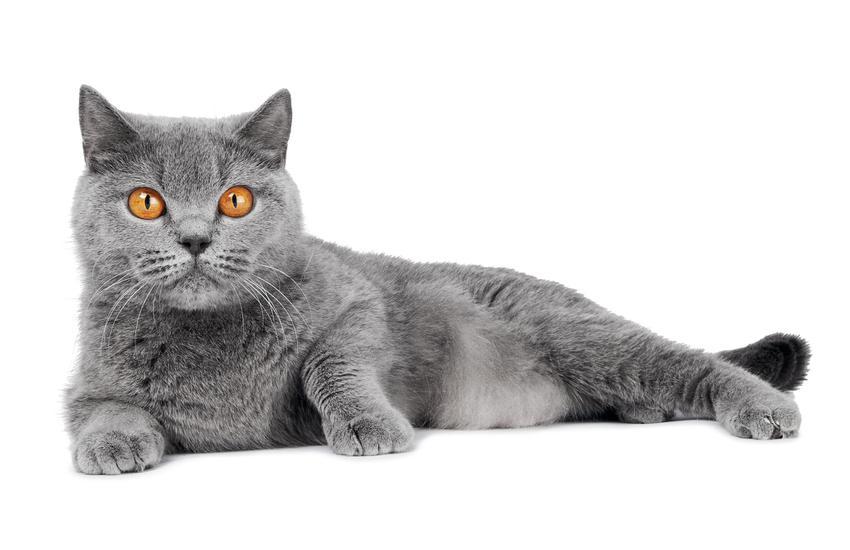 Kot brytyjski lub niebieski brytyjczyk na białym tle, jego potrzeby i wychowanie
