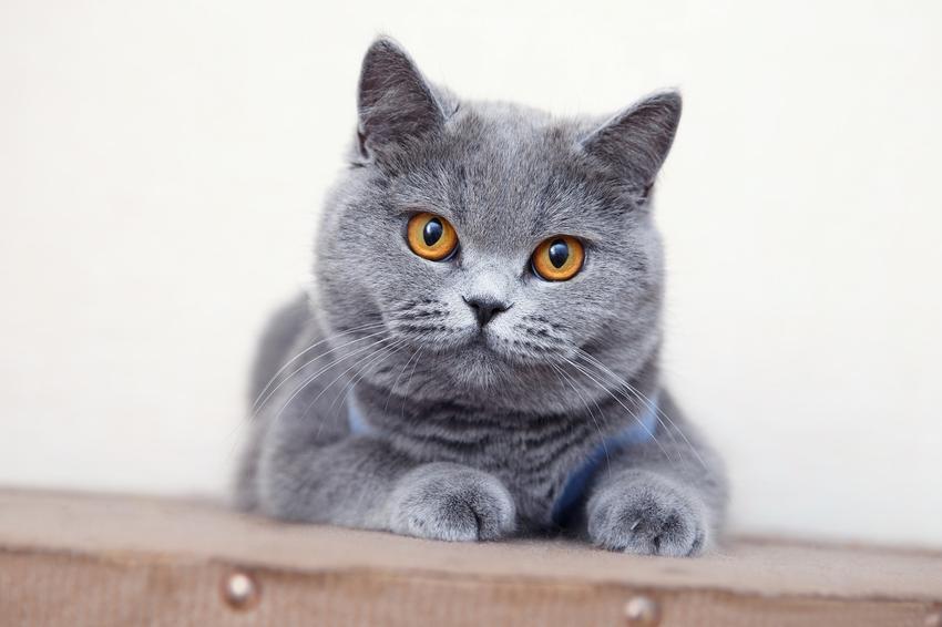Kot brytyjski i jego usposobienie, a także tak zwany niebieski brytyjczyk