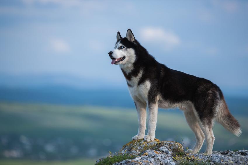 Pies rasy husky syberyjski, czyli siberian haskie na wzgórzu i jego charakter