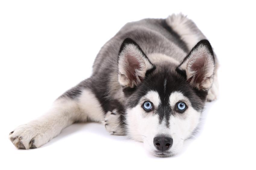 Pies rasy husky syberyjski leżący na białym tle, a także siberian haskie i jego cena