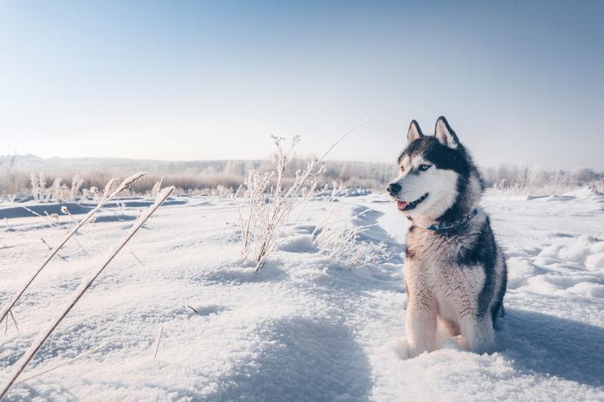 Pies rasy husky syberyjski, czyli siberian haskie siedzący na śniegu, a także jego charakter