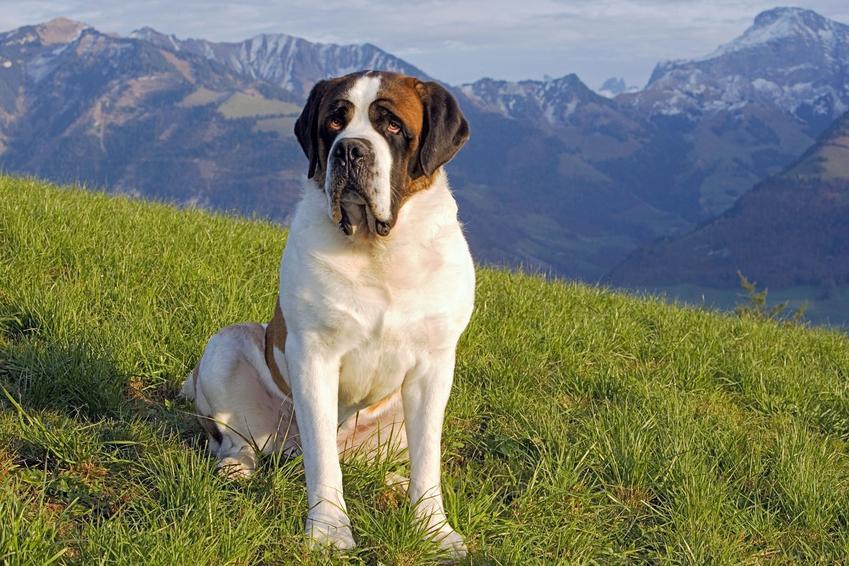 Pies rasy bernardyn podczas spceru na tle gór, a także jego charakter i cena