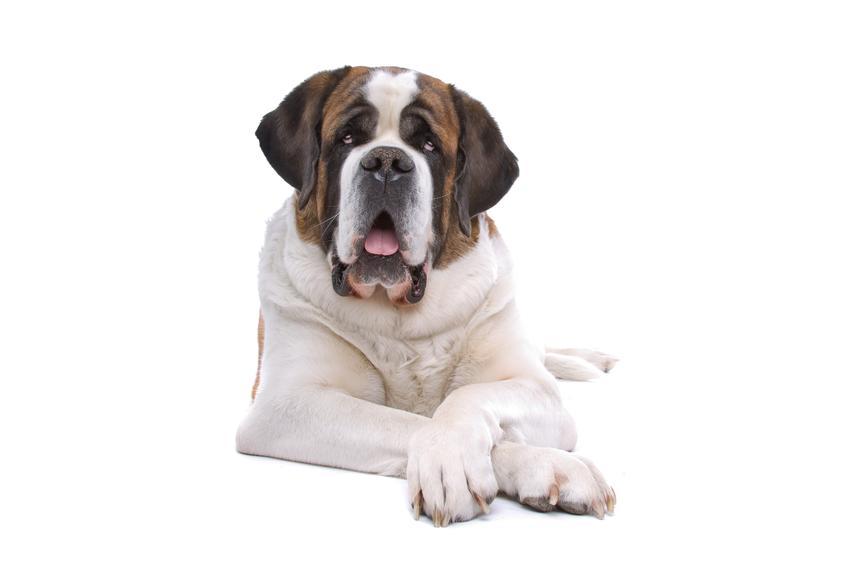 Pies rasy bernardyn siedzący na białym tle, a także jego usposobienie i cechy rasy