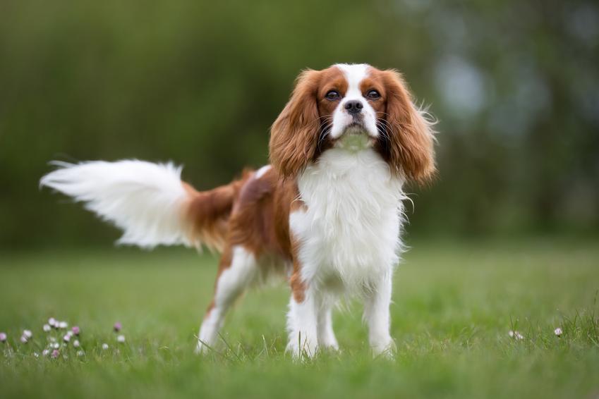 Pies rasy cavalier king charles spaniel stojący na trawie, a także usposobienie cavalier spaniela