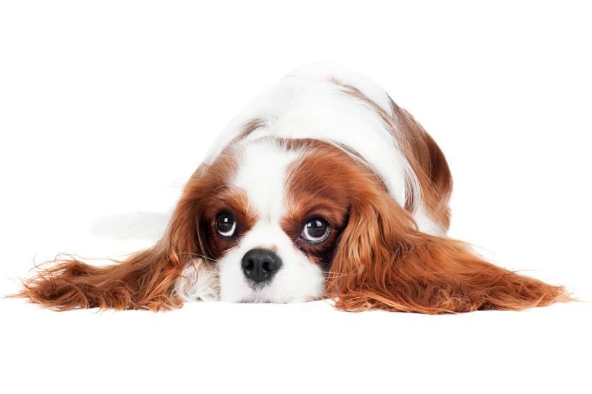 Pies rasy cavalier king charles spaniel leżący na podłodze na białym tle, a także jego charakter i usposobienie