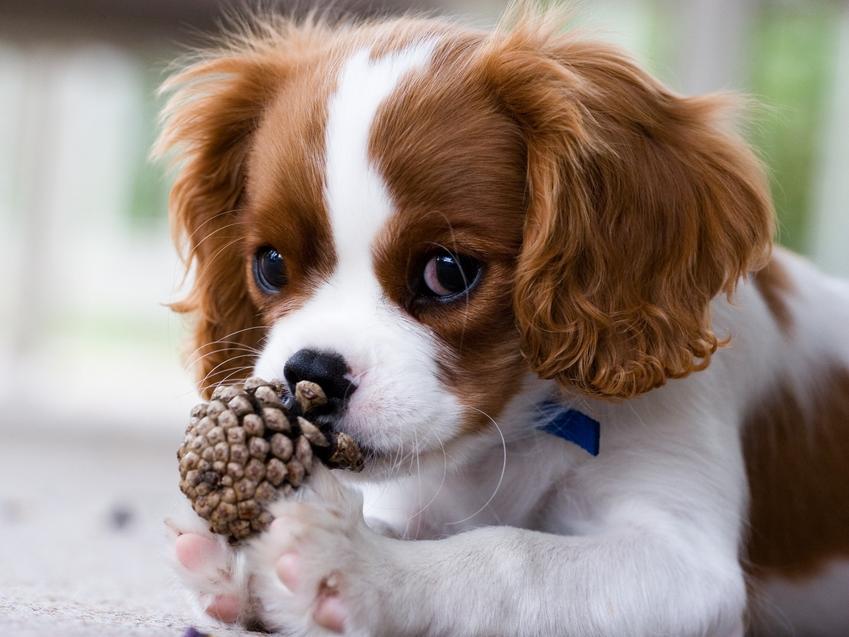 Pies rasy cavalier king charles spaniel podczas spaceru wąchający szyszkę, a także jego charakter i usposobienie
