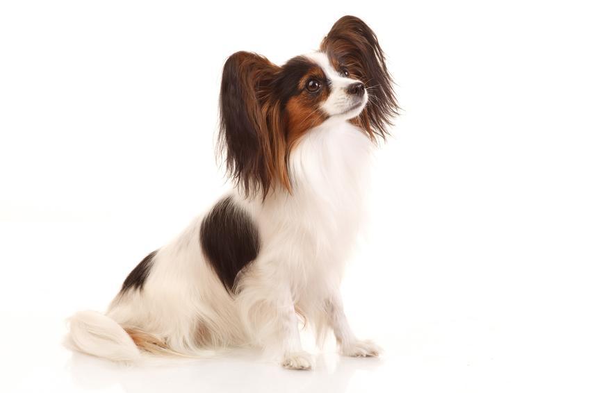Pies rasy papillon spaniel kontynentalny na białym tle, a także jego charakter i cena