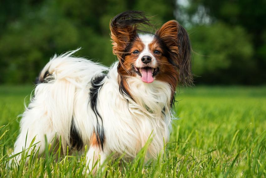 Pies rasy papillon spaniel kontynentalny na tle zieleni, a także jego charakter i cena