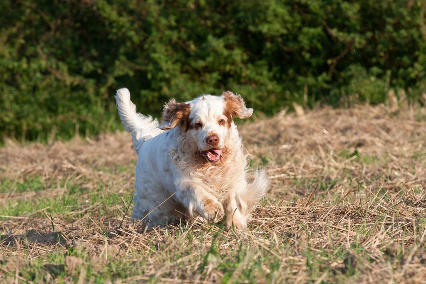 Pies rasy clumber spaniel biegający po polu podczas spaceru oraz jego szczeniaki i cena