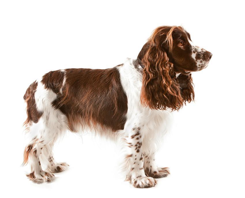 Pies rasy springer spaniel angielski na białym tle, a także jego charakter i cena