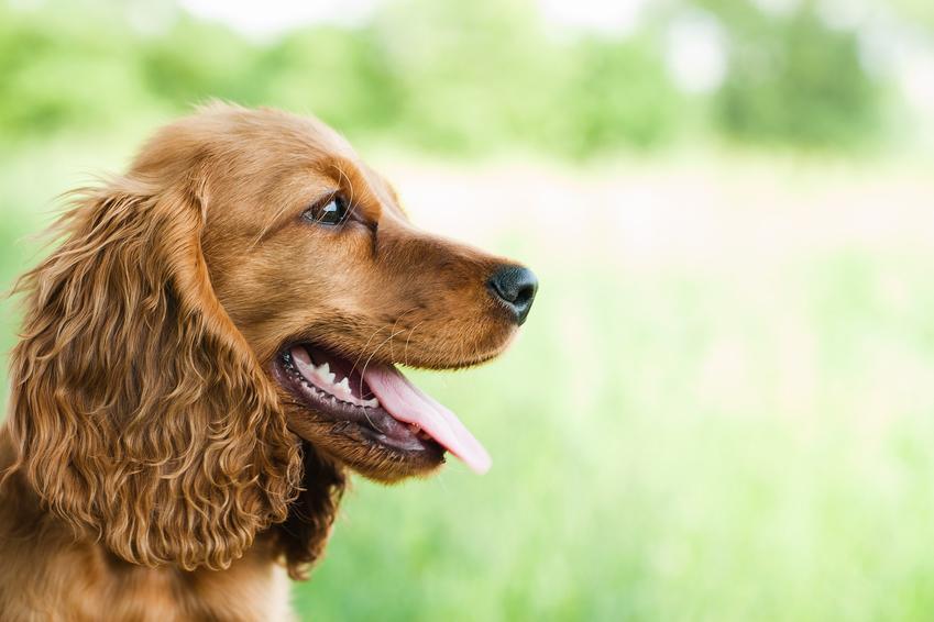 Pies rasy cocker spaniel angielski podczas spaceru na tle zieleni, a także jego charakter