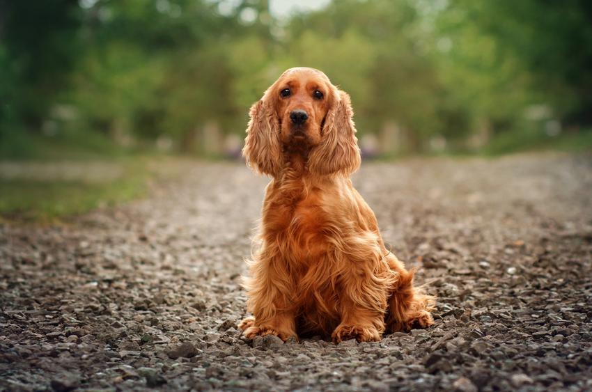 Pies rasy cocker spaniel angielski siedzący na ziemi podczas spaceru, a także jego opis i cechy