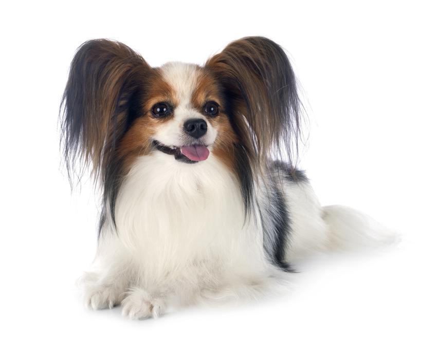 Pies rasy papillon siedzący na podłodze na białym tle, a także jego hodowla i wychowanie