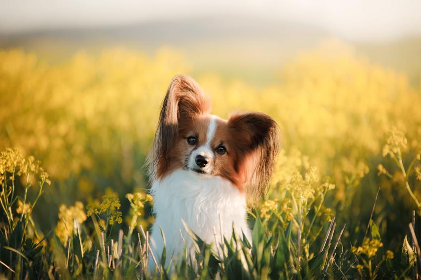Pies rasy papillon siedzący w żółtych kwiatach, a także jego charakter i usposobienie