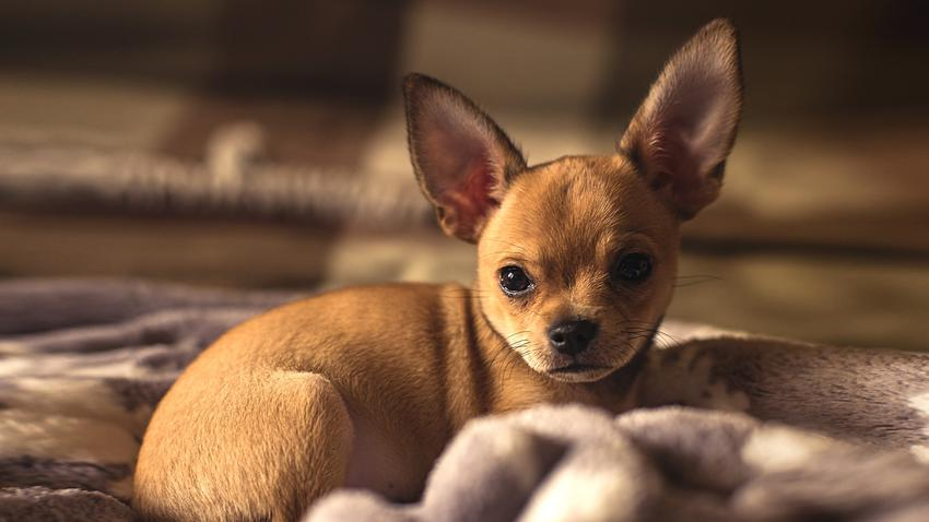 Pies rasy chihuahua krótkowłosa brązowy leżący w legowisku oraz jego opis
