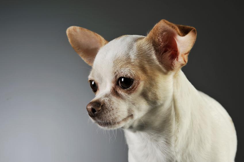 Pies rasy chihuahua krótkowłosa biała na szarum tle, a także jej charakter i cena