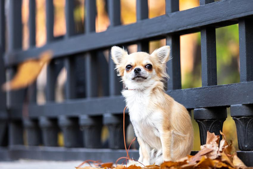 Pies rasy chihuahua siedzący w liściach pod płotem, a także szacowana długość życia chihuahua