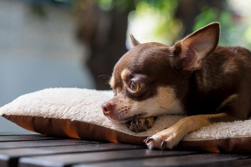 Pies rasy chihuahua brązowy leżący na poduszce, a także charakter i długość życia chihuahua
