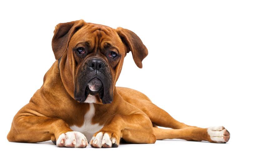 Pies rasy bokser miniaturka lub bokser na białym tle i informacje o rasie