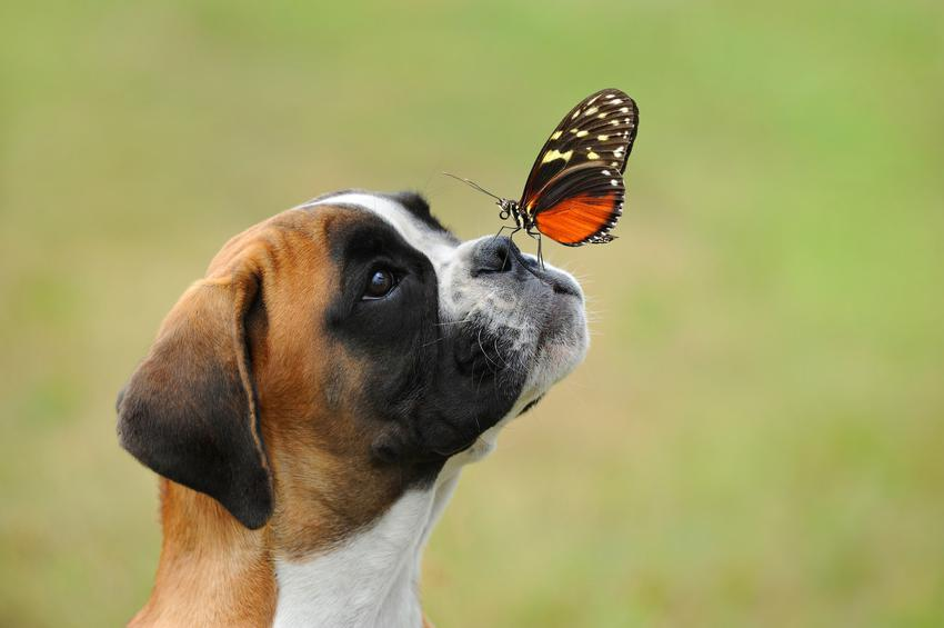 Pies rasy bokser miniaturka czy też bokser z motylem na nosie, a także charakter psa