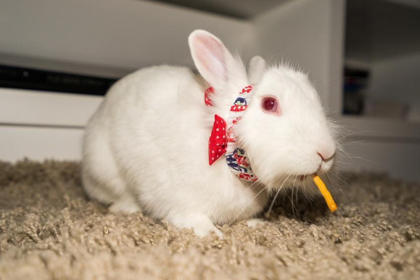 Królik miniaturka jedzący paluszka na trocinach, a także cena królika miniaturki i jego wychowanie
