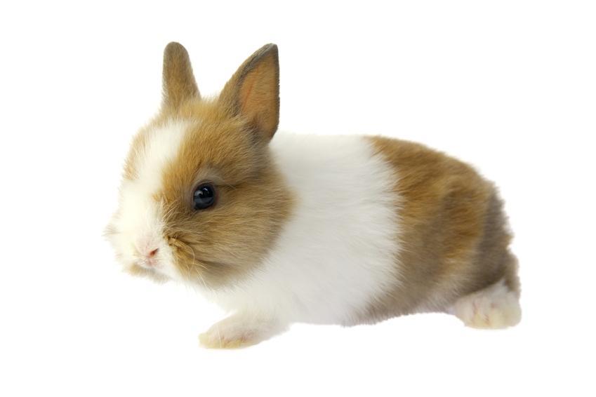 Królik miniaturka na białym tle oraz wychowanie, karmienie i cena królika miniaturki